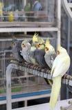 Cockatiels в souq любимчика Дохи Стоковое Изображение RF