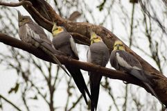 Cockatiels. A group of Cockatiels rest on a branch royalty free stock photos