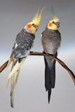 2 cockatiels Стоковые Изображения