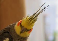 Cockatiels divertidos del penacho Fotografía de archivo