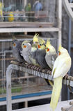 Cockatiels in Doha pet souq Royalty Free Stock Image