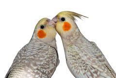 Cockatiels mutual preening Stock Images