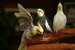 Cockatiels que se relajan Fotos de archivo libres de regalías