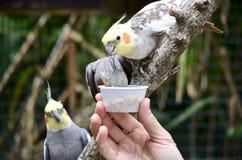 Cockatiels Snacking от малой чашки питания птицы Стоковые Изображения