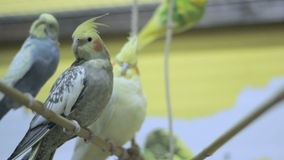 Cockatiels on a tree swing 2 stock video footage