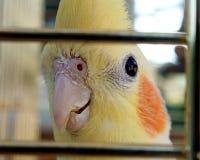 Cockatielvogel in einem Käfig Stockfotografie