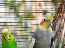 Cockatoo και parakeet από κοινού στοκ φωτογραφίες με δικαίωμα ελεύθερης χρήσης