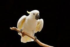 cockatoo πουλιών Στοκ εικόνα με δικαίωμα ελεύθερης χρήσης