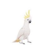 Cockatoo, που απομονώνεται θείο-λοφιοφόρο στο λευκό Στοκ εικόνες με δικαίωμα ελεύθερης χρήσης