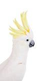 Cockatoo, που απομονώνεται θείο-λοφιοφόρο στο λευκό Στοκ Φωτογραφίες