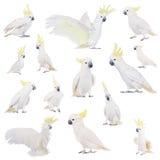 Cockatoo, που απομονώνεται θείο-λοφιοφόρο στο λευκό Στοκ φωτογραφίες με δικαίωμα ελεύθερης χρήσης