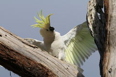 Cockatoo σε ένα δέντρο Στοκ Φωτογραφία