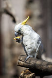 cockatoo ест померанцовый попыгая Стоковые Изображения
