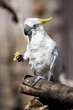 cockatoo ест померанцовый попыгая Стоковая Фотография RF