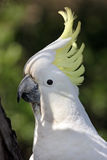 Cockatoo Lizenzfreie Stockfotos