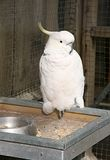 Cockatoo. White cockatoo in a cage Stock Image