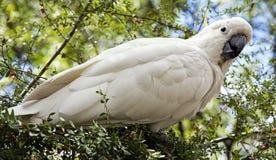 Cockatoo stockfoto