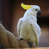 Cockatoo. Yellow-crested cockatoo (Plyctolophus galeritus) on the rope stock photo