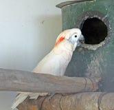 Cockatoo. Exotic bird: Yellow-crested Cockatoo Royalty Free Stock Photo