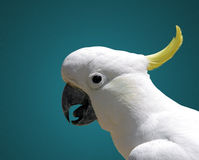 Cockatoo Royalty Free Stock Image