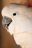 Cockatoo Στοκ φωτογραφία με δικαίωμα ελεύθερης χρήσης