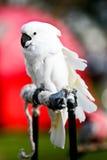 Cockatoo Στοκ Φωτογραφίες