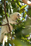 Cockatoo photographie stock