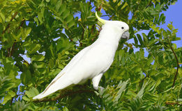 Cockatoo Stock Images