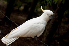 Cockatoo. A sulphur crested cockatoo on a fence Stock Images
