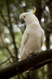 Cockatoo. A white cockatoo rest on tree branch Royalty Free Stock Image