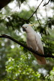Cockatoo. A white cockatoo on a tree branch Royalty Free Stock Photography