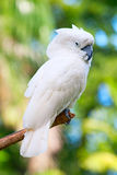 Cockatoo Stock Image