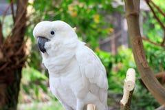 cockatoo Стоковое Изображение RF
