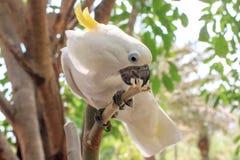 cockatoo Стоковые Фото