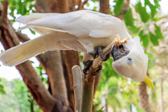 cockatoo Стоковое фото RF