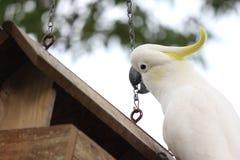 cockatoo Стоковые Изображения RF