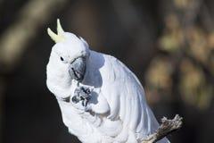 cockatoo Image libre de droits