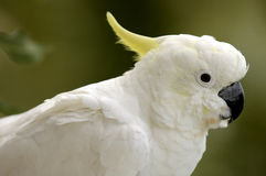 Cockatoo. Close up of friendly cockatoo in australia Royalty Free Stock Photography