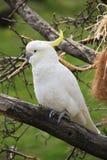 Cockatoo Photos libres de droits