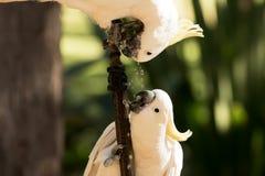 cockatoo Στοκ Φωτογραφία
