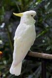 cockatoo Fotografia Stock