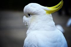 cockatoo Images stock