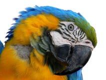 Cockatoo Foto de Stock Royalty Free