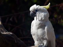cockatoo stockbild