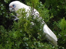 cockatoo imagen de archivo