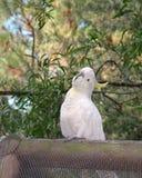 Cockatoo Stock Photography