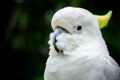 cockatoo Fotos de Stock Royalty Free
