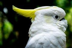 cockatoo imagens de stock royalty free
