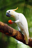 Cockatoo. A cockatoo eating fruit on tree branch over green background royalty free stock images