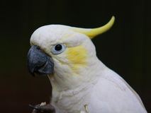 Cockatoo Amarelo-com crista Foto de Stock Royalty Free